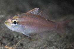 BD-141012-Komodo-4528-Ostorhinchus-chrysotaenia-(Bleeker.-1851)-[Yellowlined-cardinalfish].jpg
